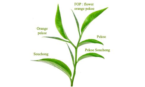 Les grades des thés noirs sont établis selon la taille des feuilles du théier.