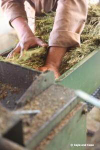 Début du traitement du rooibos après récolte