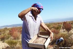 Récolte des graines des fleurs de rooibosr