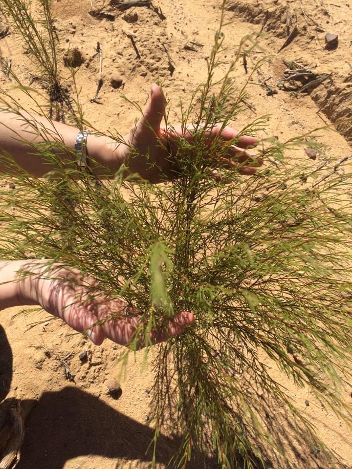 Jeune arbuste de rooibos