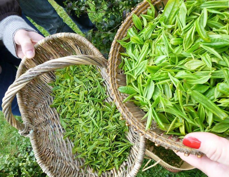 Récolte de thé au Parc nantais du Grand Blottereau, sur la colline du Sucheon ou se tient un jardin coréen. © Club des buveurs de thé