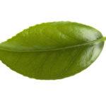 Le moine indien qui inventa le thé