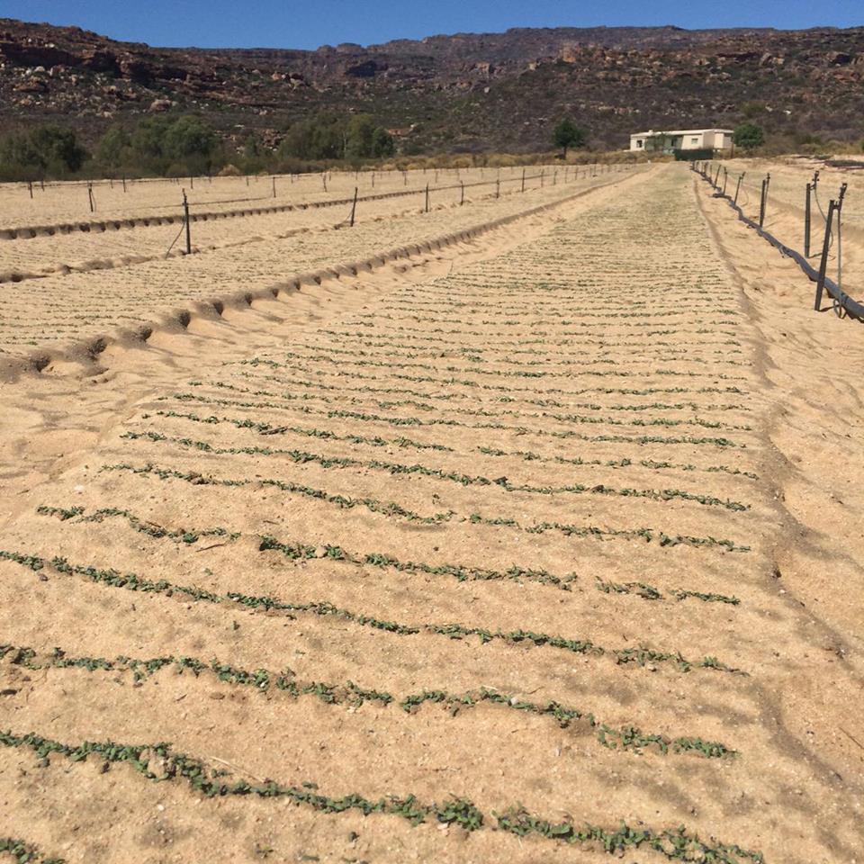 Vue du champs de rooibos de la ferme de Haffie Olivier