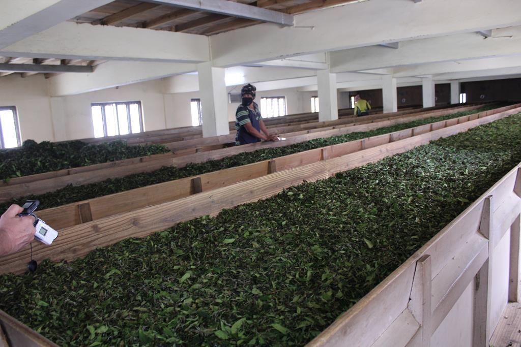 Flétrissage des feuilles de thé à  Illam au Nepal